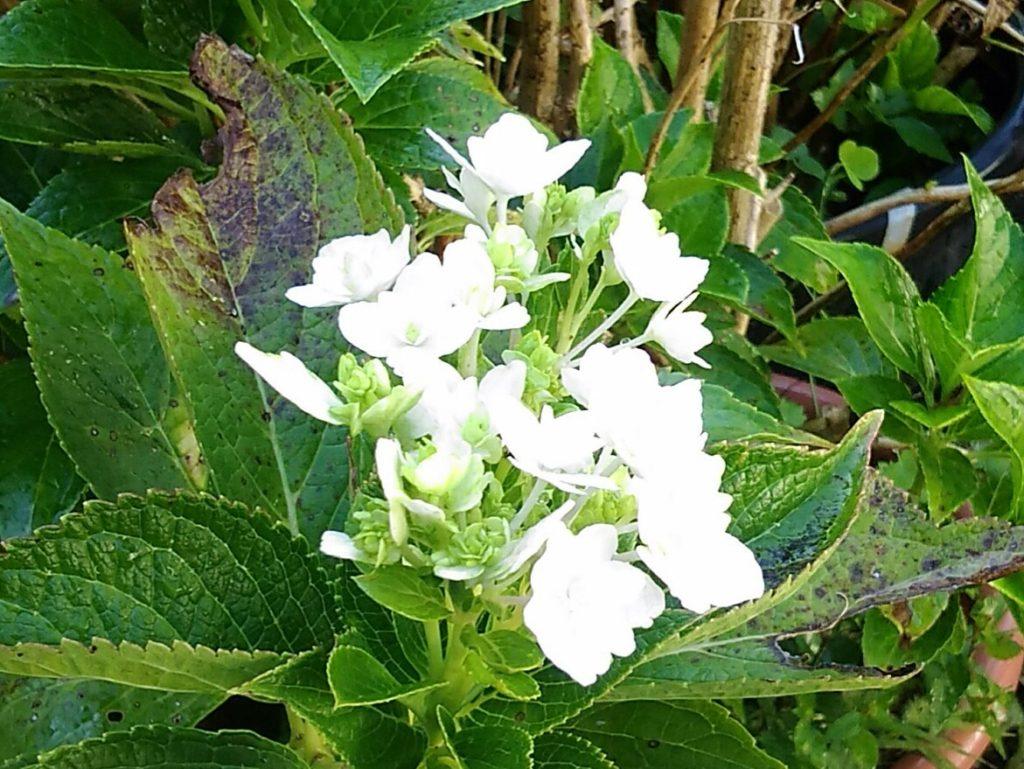 季節はずれのアジサイの花