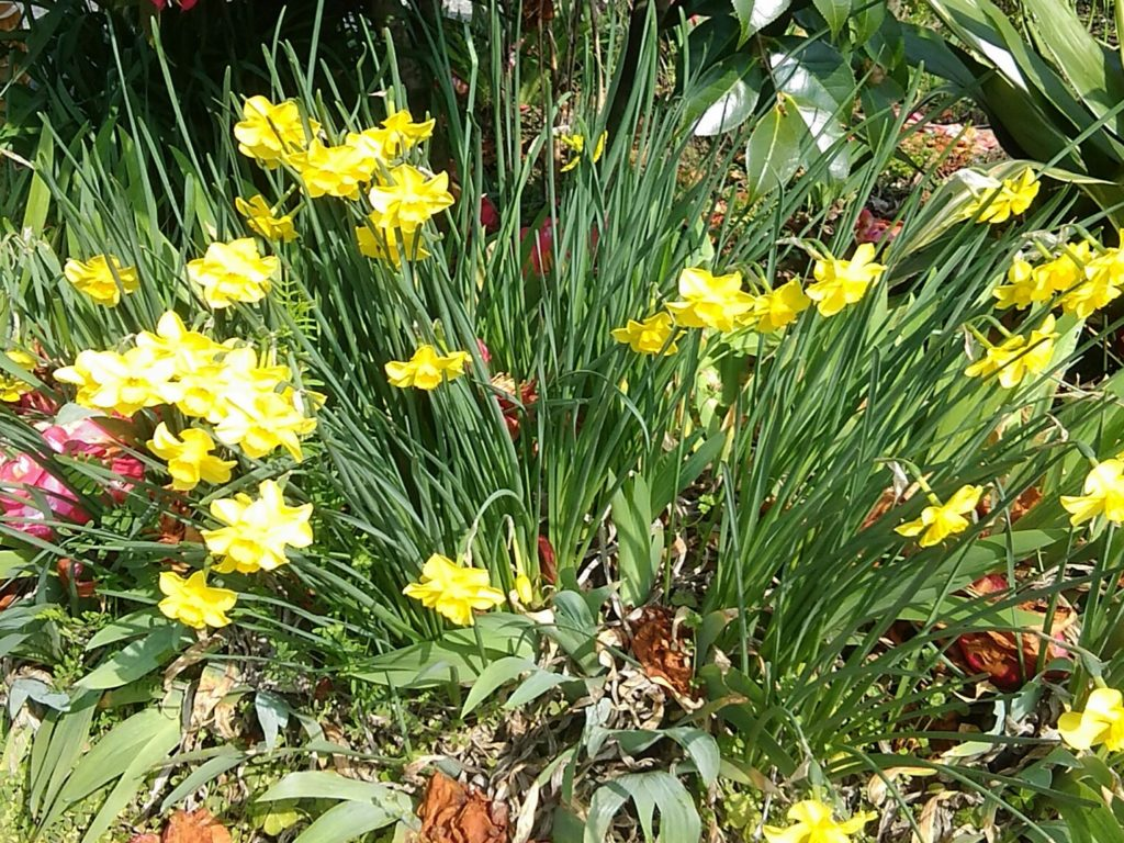 水仙の花です。