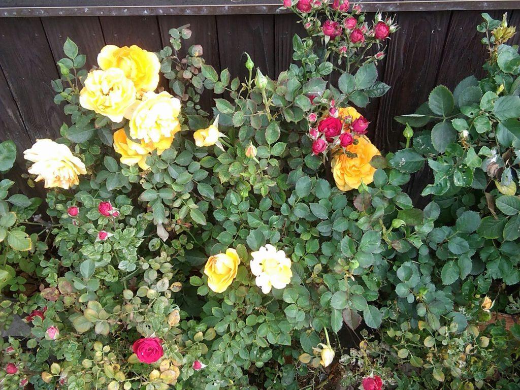 バラの花です。