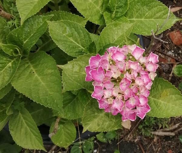紫陽花の花です。