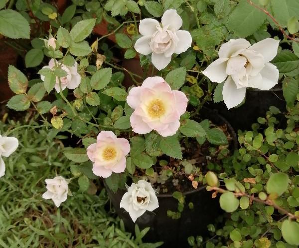 ミニバラの花です。