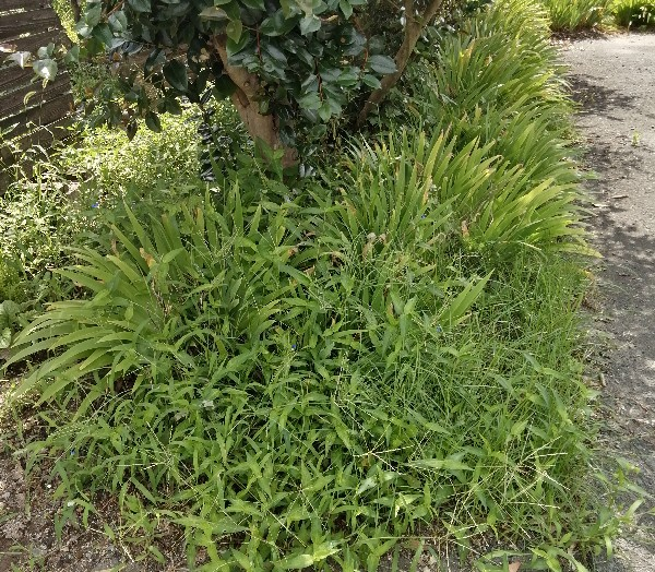 三池焼の庭草ぼうぼうです。