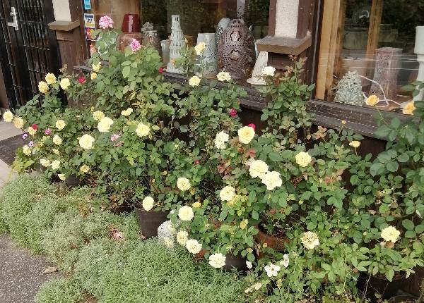 猛暑に負けず、バラの花が咲き続けています。