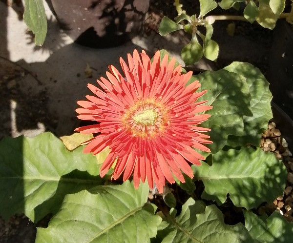 ガーベラの花です。