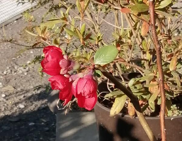 ボケの花です