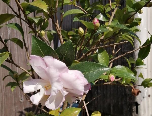 山茶花の花です