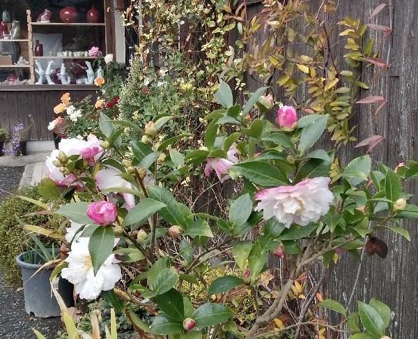 山茶花の花が盛りです。