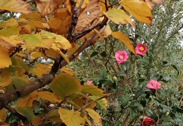 椿の花と万作の紅葉
