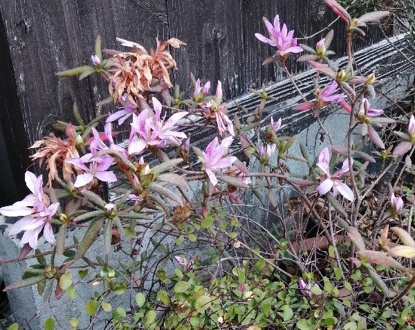 真冬に咲いたつつじの花