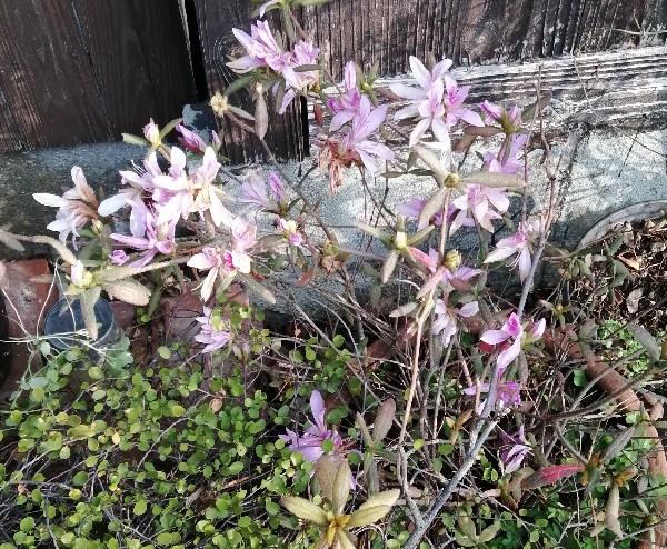 つつじの花です