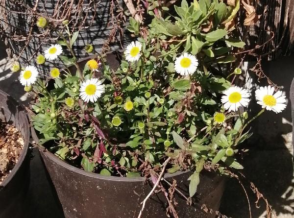毎年咲く小さな花です
